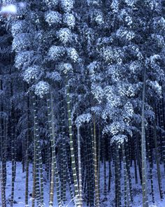 Bamboo grove, near Tenryu-ji Kyoto in Winter