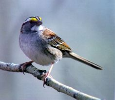 White throated sparrow, Markham, summer 2011