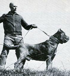 1971 Neapolitan Mastiff