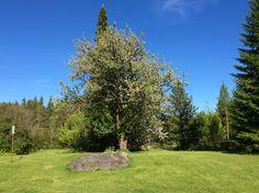 vanha puu kohta kukassa