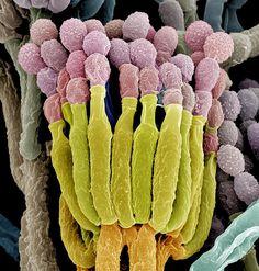 Rhizopus stolonifer, fungus