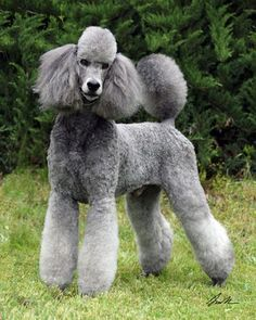 standard poodle miami clip - Google Search   Oodles of Poodles ...