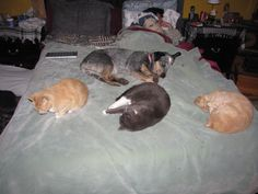 Annie and the cats taking over the bed for nap time.