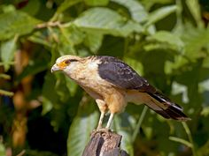 Yellow headed Caracara