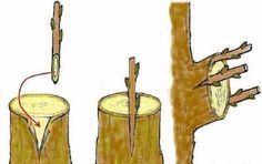 Дедовский способ прививки деревьев для большого урожая   размножение