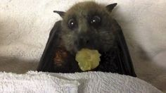 Bat eating grapes http://ift.tt/2iBa5RC