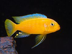 "Metriaclima (Pseudotropheus) sp. ""kingsizei lupingu"" (male)"