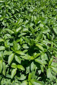 Indigo plants similar to those harvested by Aminata and the other slaves Indigo Plant, Indigo Dye, Natural Dye Fabric, Natural Dyeing, Dye Flowers, Coming Up Roses, Medicinal Plants, How To Dye Fabric, Growing Plants