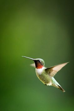 Ruby Throated Hummingbird, foothills of North Carolina, United States