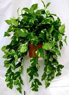 Pothos (good for east-facing windows , and low light )