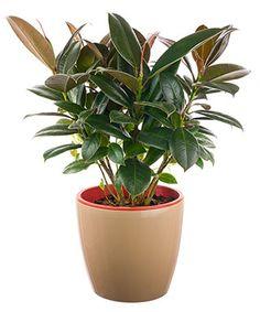 Fiikus - kumiviikuna - huonekumipuu hoito. Täältä löydät fiikuksen hoito-ohjeet ja kasvatusvinkit. Indoor Gardening, Planter Pots, Interior Garden