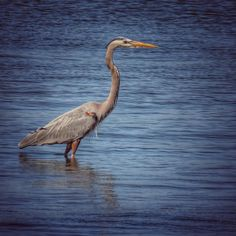 #reddishegret #heron in #sebastian #florida #usa 21jan17 #igers #nature #wildlife #instanature #ig_nature #instatravel #picoftheday #instagood #love #bird