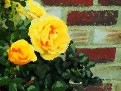 Roses against brick