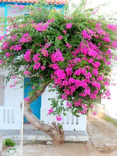 Greece, Samos Island, Flowertree, july - august 2014 Greek Flowers, All Flowers, Amazing Flowers, Bougainvillea, Flower Window, Greece Islands, Flowering Trees, Outdoor Plants, Flower Photos