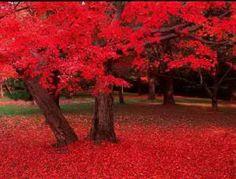 Erable-du-japon-opus-rouge