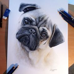 Pug Color Pencil Drawing by AtomiccircuS on deviantART #pugdrawing