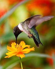 A.Krtl -Hummingbird