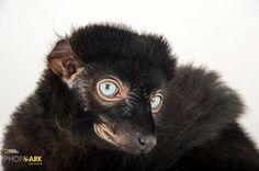 Blue-eyed black lemur (Eulemur flavifrons) © Photo by Joel Satore/National Geographic Photo Ark