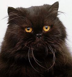 Absolutely beautiful black Persian. Velvet to the touch.