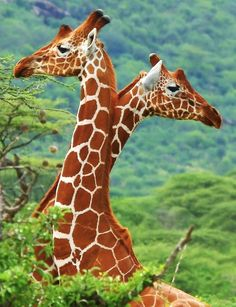 Giraffes are so amazing and beautiful !
