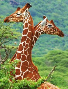 Giraffes are so amazing and beautiful !
