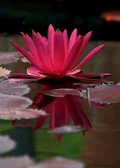 La flor nacional de Egipto. La hermosa flor de loto. Photo: Mahmoud Hassan  Shared by Edith Cruz