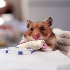 holy cute.  i bet he didn't feel well.  Watch a Hamster Gobble Many a Tiny Burrito