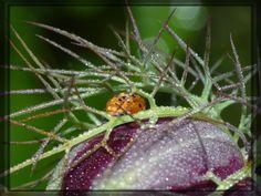 Nymphe de Coccinella septempuncata