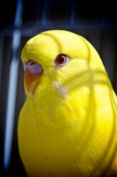 Goldie by Renee Hubbard Fine Art Photography (Beautiful Yellow Budgerigar.)