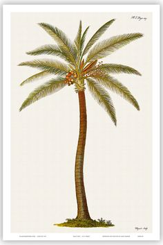Coconut Palm Tree Vintage Botanical Engraving Art Print, for the ranch tattoo?