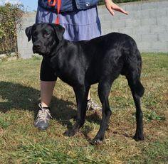 Pluton  Né le 30 septembre 2013 Type : Labrador Sexe : Mâle Age : Junior Taille : Moyen Lieu : Vendée - 85 (Pays de la Loire)  Refuge :  REFUGE SPA DE LA ROCHE SUR YON(Vendée) Tél : 02 51 05 41 01