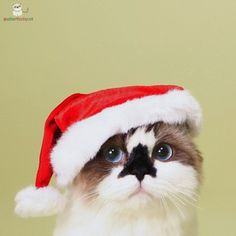 This is Albert. He is a munchkin cat from California and he is here to bring you Christmas cheer.   Albert Is The Cutest Munchkin Cat You Will Ever See