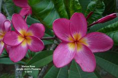 Vienna Rose: One of our favorite plumerias. Medium growth habit, and nice scent.