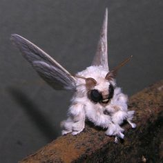 Zoologist Arthur Anker's picture of a Venezuela poodle moth, a moth species discovered in 2009.