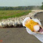 duck+selfie
