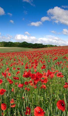 Poppy Field, Ware, Hertfordshire, England