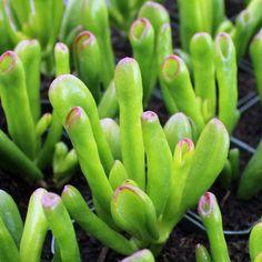 Crassula ovata 'ET's Fingers' Jade: Very appropriately named plant! Echeveria, Crassula Succulent, Crassula Ovata, Jade Succulent, Succulent Names, Hydroponic Gardening, Hydroponics, Container Gardening, Indoor Gardening