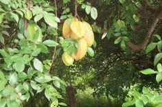 GRENADA - Star fruit trees