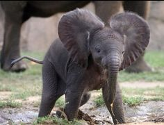 Baby elephants are so cute. ♥ Need a really big yard for this cutey.