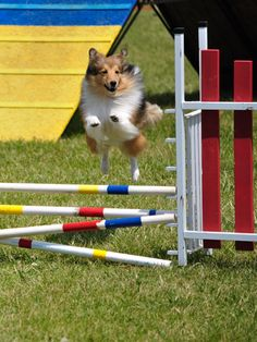 Your #dog doesn't have to be a show dog to have some agility training fun. #pets #health