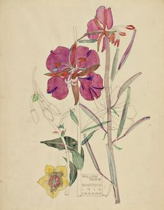 Charles Rennie Mackintosh (1868-1928) - Willow Herb, Buxstead, Flower Study. Pencil & Watercolour on Paper. Circa 1919.