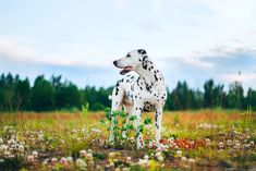 Cute Dogs Breeds, Dog Breeds, Liver Spot, Dog Dna Test, Dead Hair, Dalmatian Dogs, Dog Books, Best Dogs, Spotlight