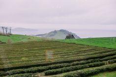 Gorreana Chá, Tea Plantation, São Miguel, Azores - Portugal