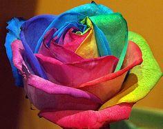 Rainbow Happy Rose