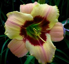 Photo of Daylily (Hemerocallis 'Of Olden Days') uploaded by mainstreet