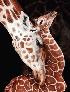 Giraffe snuggles her one-week-old calf.The animal kingdom is This Close to us. The Animals, Nature Animals, Cute Baby Animals, Wild Animals, Cutest Animals, Animal Kingdom, Beautiful Creatures, Animals Beautiful, Photo Animaliere