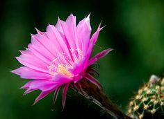 Echinopsis sterntaler