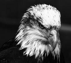 Adler - Weißkopfseeadler