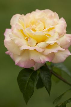 Sweet Peace Rose