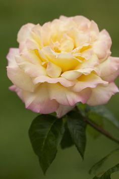 Sweet Peace Rose